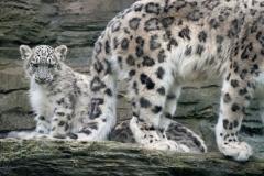 Snowy-leopard-2