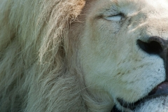 lion-close-up-2
