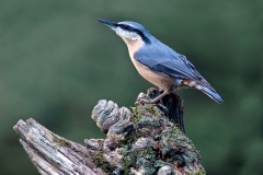 10Nuthatch-against-pale-green