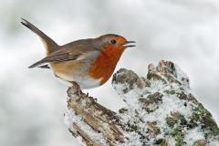 snowy-robin-2_edited-1