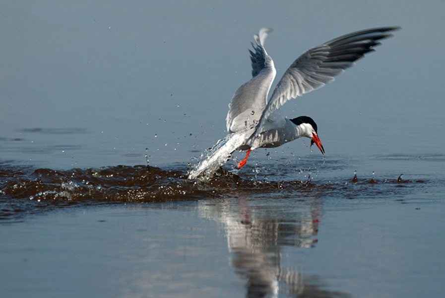 tern-with-fish